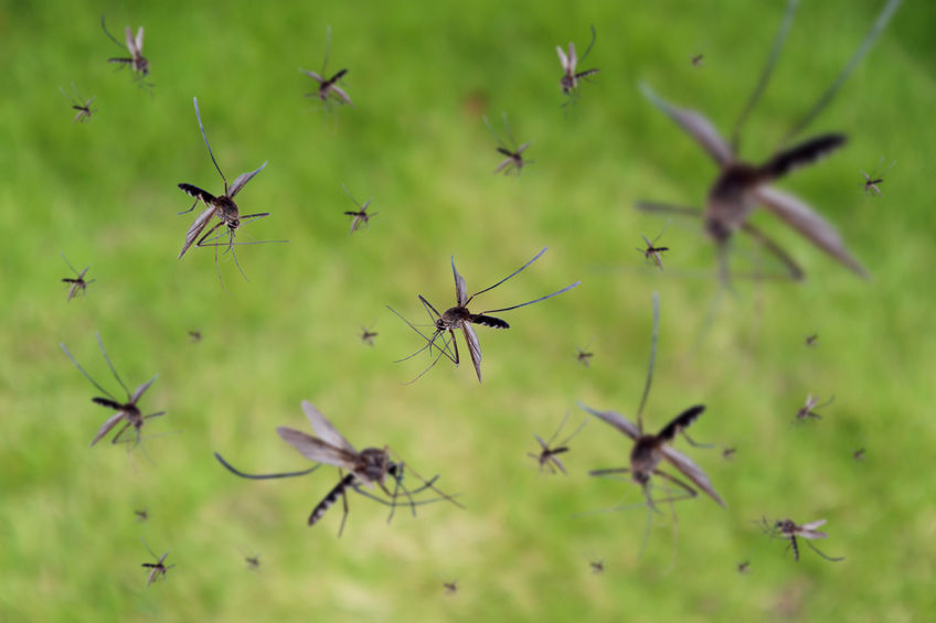 Many mosquitoes fly over green grass field